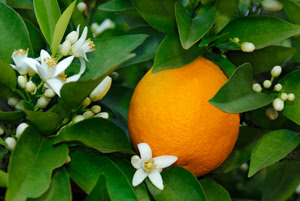 Orange - Citrus sinensis
